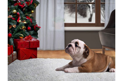 bull dog beside christmas tree on a clean rug
